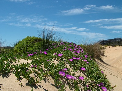 The pig face plant has a pink flower and green succulent type grown cover.  It is growing on a sand dune. The sky is clear blue.